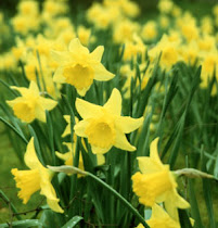 Daffodils Make Me Smile!