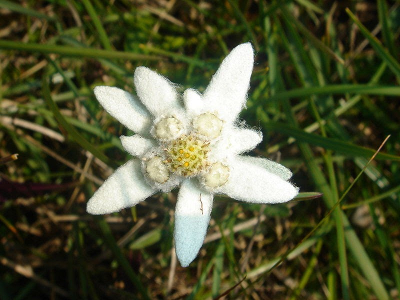 irony coast edelweiss..the mark of a true soldier, Natural flower
