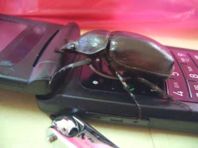 insect,beetle, motorola