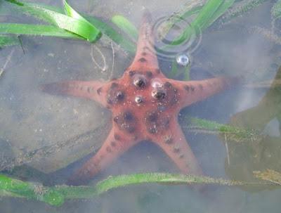 Starfish, Sg Pulai