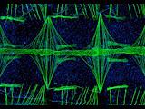 Corazón Anopheles gambia en microscopía fluorescente 100 aumentos