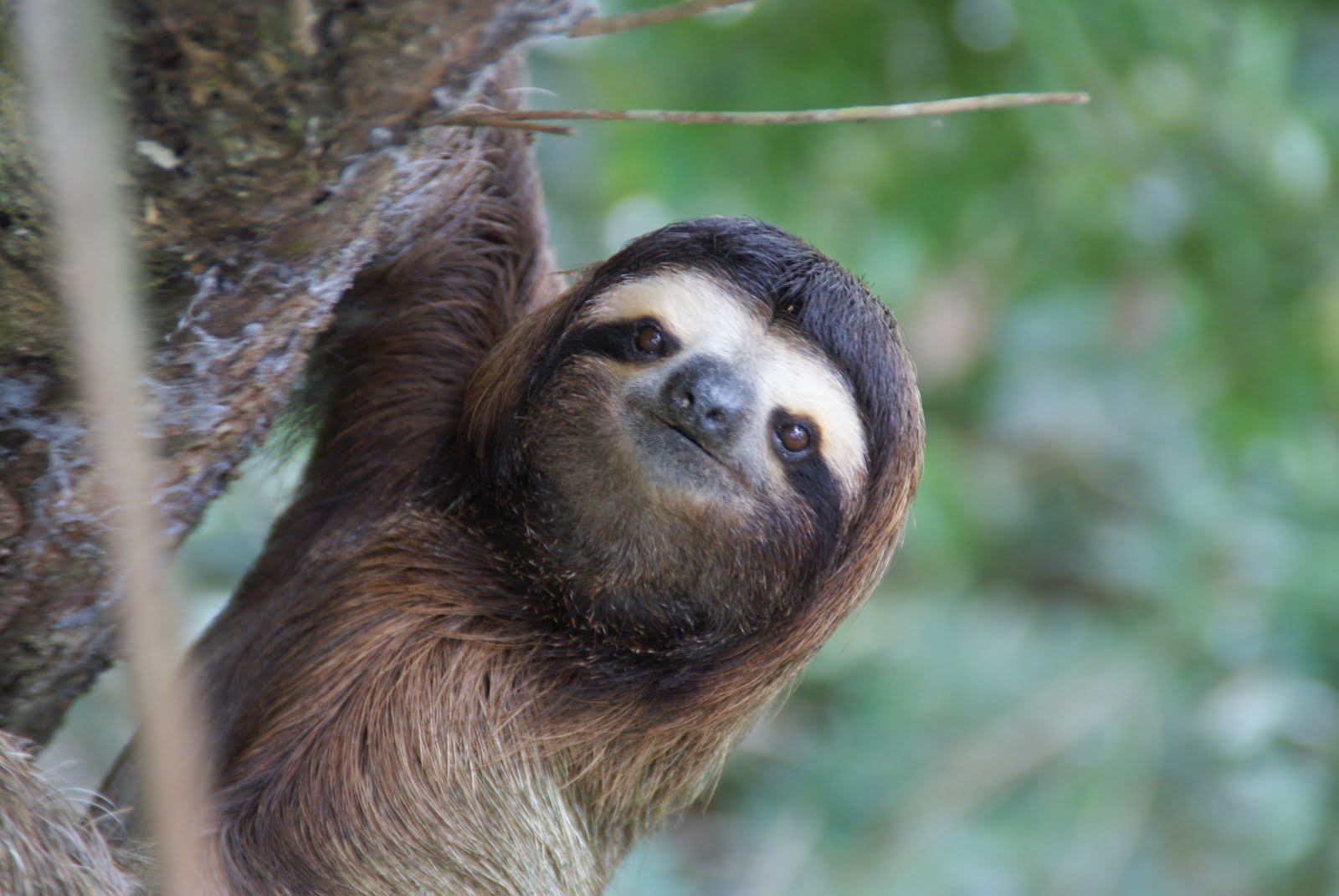 sloth pictures on animal picture society