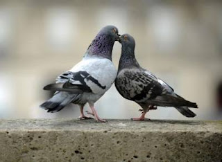 pigeon kiss ecard for valentines day