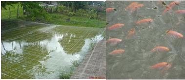 Jre regional cundinamarca peces de estanque el pe on for Como hacer un estanque para mojarras