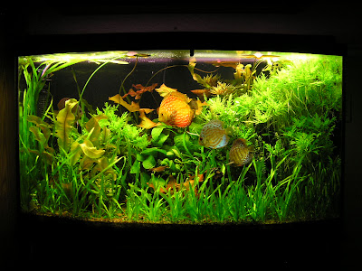 Discus fish temperature what is the suitable water for Tropical fish temperature