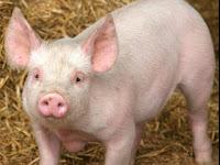 Крадци задигнаха две 100-килограмови прасета от ферма
