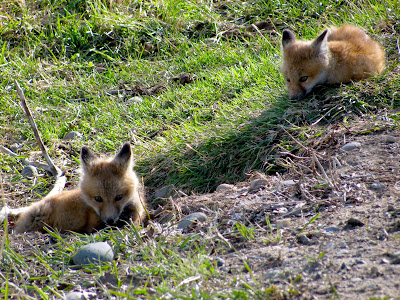 fox kits, Meeteetse, Wyoming