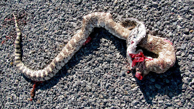 snake road kill, Worland, Wyoming