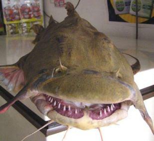 坦克鴨嘴 印度水怪 - 坦克鴨嘴 印度水怪 Goonch