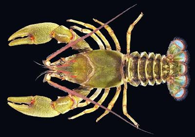 新種大螯蝦