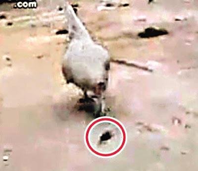 母雞生吞老鼠