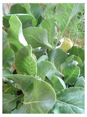 Tra orto e giardino cavoli broccoli aglio e cenere for Seminare aglio