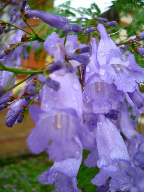 flor  de  jacarandá