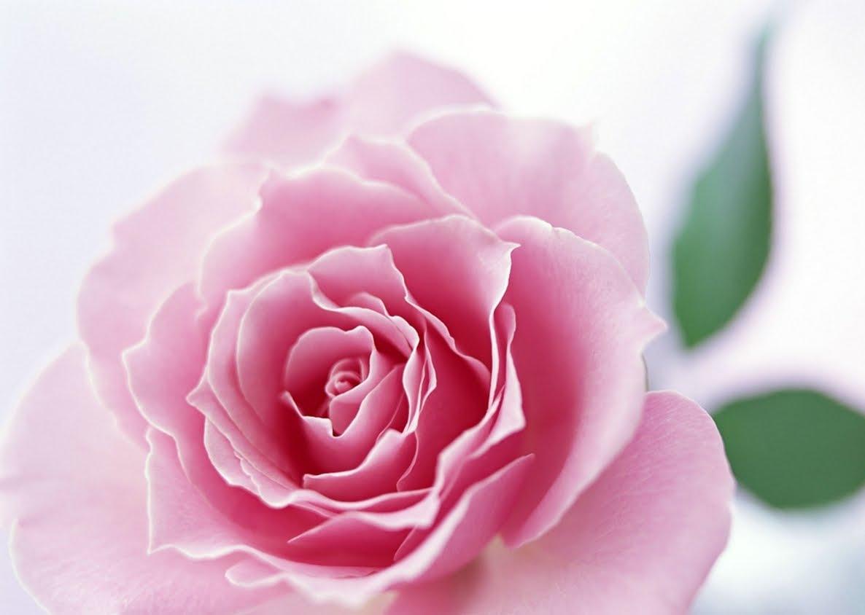 Wallpapers elegant flower beauty rose