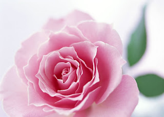 wallpapers elegant flower beauty rose