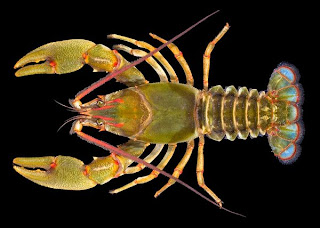 crayfish wallpaper shrimp menu food