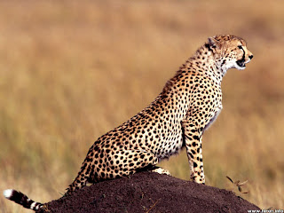 cheetah big cat