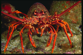 giant crayfish picture blue wallpaper
