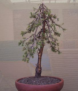 alpineartbonsai picea glauca alberta globe transformed rh alpinebonsart blogspot com Cypress Bonsai Blue Spruce Bonsai