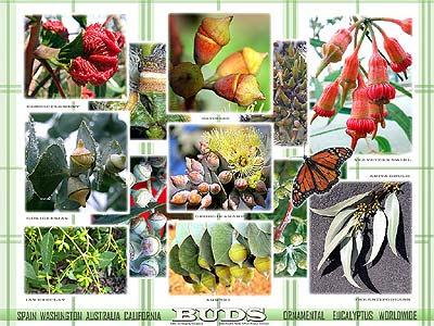 Ornamental Eucalyptus Worldwide Flower Buds GIT Forestry Consulting Eucaliptos Ornamentales Flores por Gustavo Iglesias