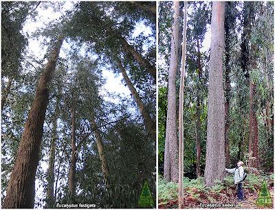 Eucalyptus fastigata and Eucalyptus sieberi in Galicia Northwestern Spain Eucalipto fastigiado y Eucalipto de Sieber en Galicia España GIT Forestry Consulting