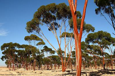 Eucalyptus plantation Guercif Morocco Maroc Plantacion Eucalipto Marruecos Pierre Arnaud Chouvy GIT Forestry Consulting Galicia España Spain