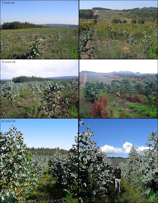 Cold hardy Eucalyptus plantation: survival and early growth in the first 2 years. GIT Forestry Consulting, Galicia, Spain / Supervivencia y crecimiento temprano en una plantación de eucalipto tolerante a la helada de 2 años de edad. GIT Forestry Consulting, Galicia, España