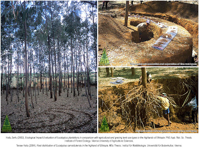 Eucalyptus root system survey in the highlands of Ethiopia by Dr. Hailu Zerfu to assess sustainability of their cultivation and impact on nutrient cycles and soil properties