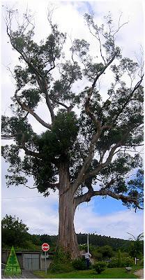 Giant Eucalyptus globulus ssp globulus in the Northern coast of Galicia, Spain / Ejemplar gigante de Eucalipto blanco en la costa norte de Galicia, España / GIT Forestry Consulting, Consultoría y Servicios de Ingeniería Agroforestal