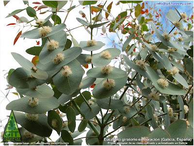 Spinning Gum, Eucalyptus perrininana flowering in Galicia, cold hardy ornamental eucalypt for cold temperate gardens / Eucalipto giratorio en floracion en Galicia, eucalipto resistente a las heladas para jardines atlanticos / Gustavo Iglesias Trabado / GIT Forestry Consulting, Consultoría y Servicios de Ingeniería Agroforestal, Lugo, Galicia, España, Spain / Eucalyptologics: Information Resources on Eucalyptus Cultivation Worldwide / Eucaliptologics: Recursos de Informacion sobre el Cultivo del Eucalipto en el Mundo