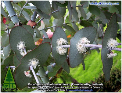 www.Eucalyptushaven.dk / Frank Diron / Fanoe / Jutland / Spinning Gum, Eucalyptus perrininana flowering in Denmark, cold hardy ornamental eucalypt for cold temperate gardens / Eucalipto giratorio en floracion en Dinamarca, eucalipto resistente a las heladas para jardines atlanticos / Gustavo Iglesias Trabado / GIT Forestry Consulting, Consultoría y Servicios de Ingeniería Agroforestal, Lugo, Galicia, España, Spain / Eucalyptologics: Information Resources on Eucalyptus Cultivation Worldwide / Eucaliptologics: Recursos de Informacion sobre el Cultivo del Eucalipto en el Mundo