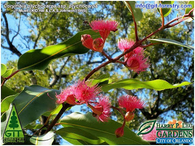 Corymbia ptychocarpa tropical ornamental eucalypt in bloom, Leu Gardens, Orlando, Florida / Eucalipto ornamental tropical de flor roja, Leu Gardens / GIT Forestry Consulting, Consultoría y Servicios de Ingeniería Agroforestal, Lugo, Galicia, España, Spain / Eucalyptologics, information resources on Eucalyptus cultivation around the world / Eucalyptologics, recursos de informacion sobre el cultivo del eucalipto en el mundo