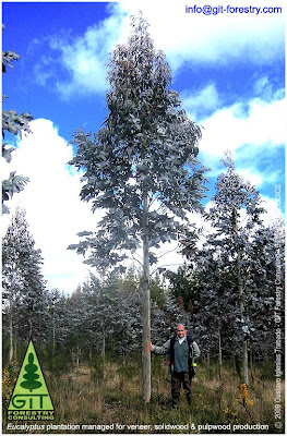High value Eucalyptus nitens timber plantation in Galicia to yield venner, laminated wood and pulpwood while managed in a silvopasture regime / GIT Forestry Consulting, Consultoría y Servicios de Ingeniería Agroforestal collaborates with Caterpillar for machine testing / Lugo / Galicia / Spain / Eucalyptologics: Information Resources on Eucalyptus cultivation worldwide / Eucalyptologics: Recursos de Información sobre el Cultivo del Eucalipto en el Mundo