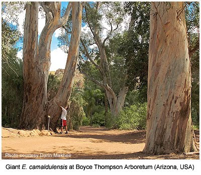 Giant Eucalyptus camaldulensis, River Red Gum, at Boyce Thompson Arboretum, Sonora, Phoenix, Arizona, USA / Eucaliptos Rojos Gigantes del Arboreto Boyce Thompson, Sonora, Phoenix, Arizona, Estados Unidos / Gustavo Iglesias Trabado, Roberto Carballeira Tenreiro and Javier Folgueira Lozano / GIT Forestry Consulting SL, Consultoría y Servicios de Ingeniería Agroforestal, Lugo, Galicia, España, Spain / Eucalyptologics, information resources on Eucalyptus cultivation around the world / Eucalyptologics, recursos de informacion sobre el cultivo del eucalipto en el mundo