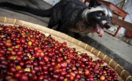 Kopi Luwak: La extraña historia tras la producción de la variedad de café más cara del mundo