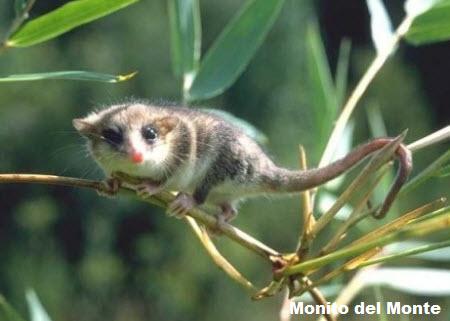 Monito del monte ( Dromiciops gliroides )
