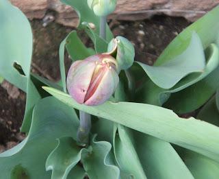daffodils rhubarb