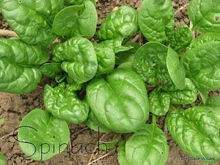 home garden spinach