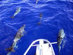 Dolphin From Friend's Boat in Keys