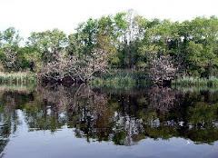 Wisteria Along the Alligator River