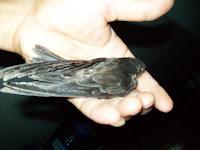 Chim Yến của tôi