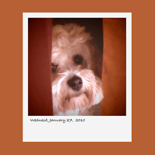 dog, Havanese, iPhone polaroid