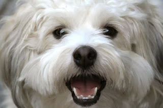 smiling dog, Lola, havanese