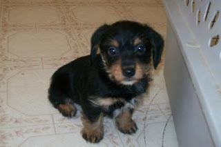 seven week old dachshund-yorkie mix who was rescued from a puppy ...