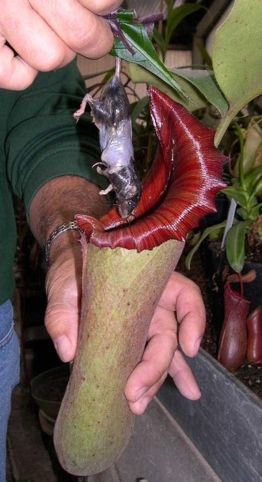 plante carnivore enorme