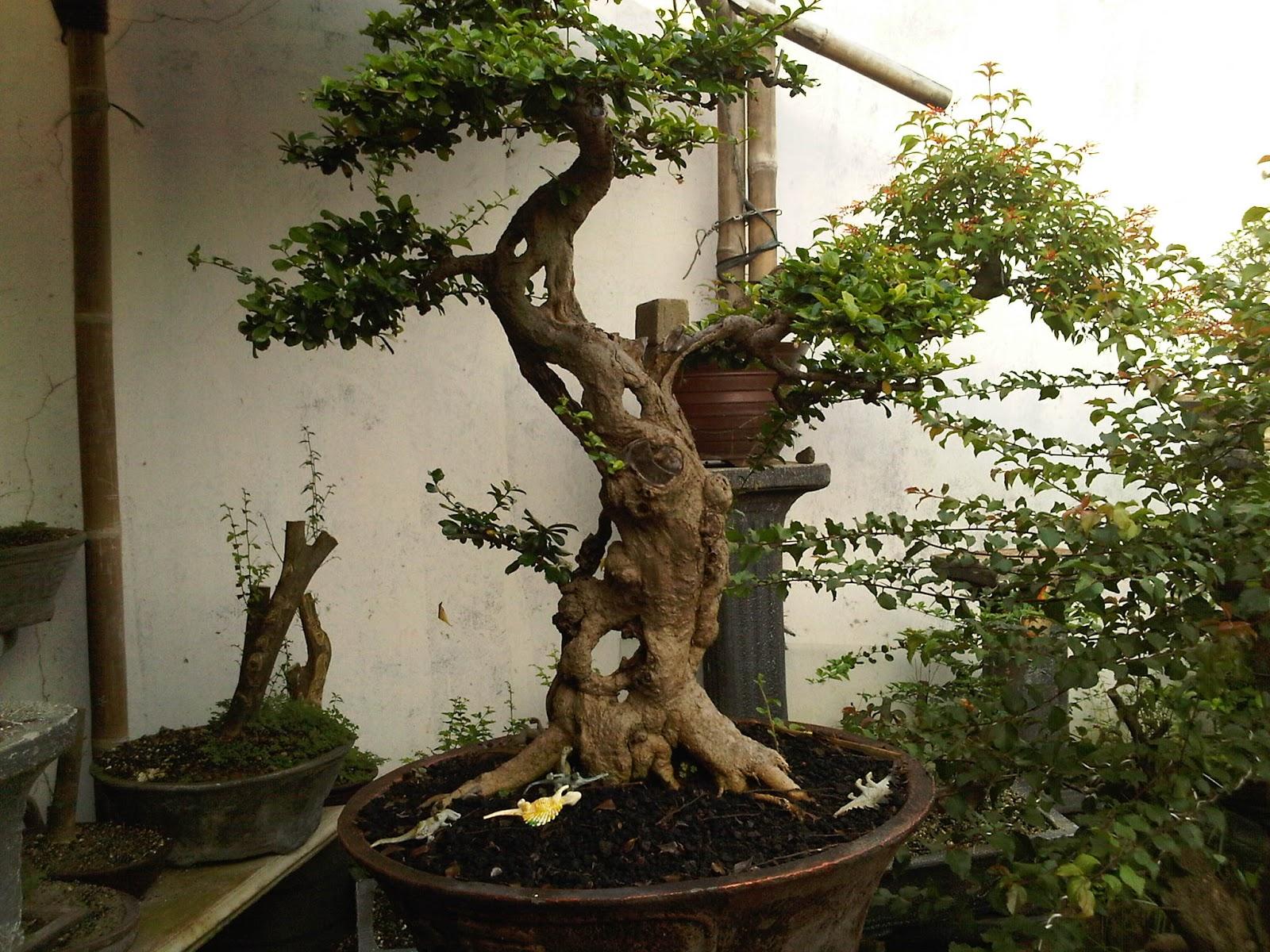 bonsai carmona Download bwin bwin premium poker app App mobilebwin microphylla