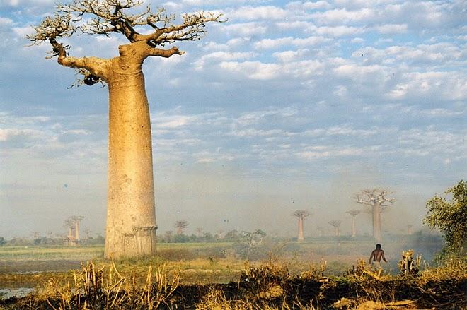 Pohon ini merupakan tumbuhan asli daerah Madagaskar, Afrika dan