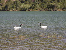 Cisnes de Cuello Negro