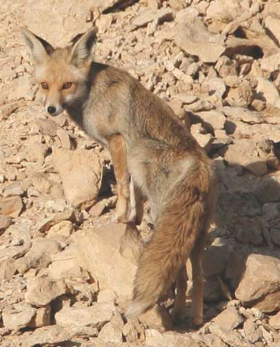 Safari Notes: The Desert Fox