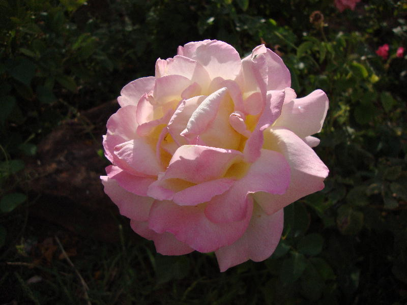 Peace Rose in a Wild, Rakish Mood